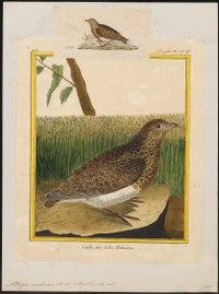 Attagis malouina - 1700-1880 - Print - Iconographia Zoologica - Special Collections University of Amsterdam - UBA01 IZ17200319.tif