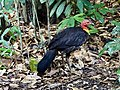 Australian brush-turkey (31994870551).jpg