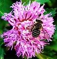 Australian native bee.jpg