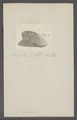 Avicula spec. - - Print - Iconographia Zoologica - Special Collections University of Amsterdam - UBAINV0274 075 10 0006.tif