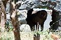 Baboon in Zoo.jpg