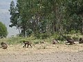 Baboons at Debre Libanos.jpg