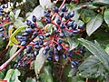 Bacche di Viburnum tinus.jpg