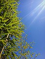 Bamboo Trees to the Sky.jpg