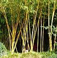 Bambus - panoramio (1).jpg
