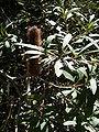 Banksia paludosa.JPG