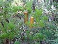 Banksia spinulosa 02.jpg