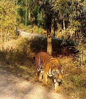 Fauna of India - Image: Bannerghetta Tiger