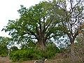 Baobab (Adansonia digitata) (11887506934).jpg