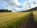 Barley, Unhill Bottom - geograph.org.uk - 884789.jpg
