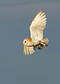 Barn Owl with prey Norfolk.jpg
