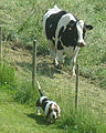Basset-hound with a cow.jpeg