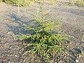 Bassia scoparia subsp. densiflora sl36.jpg