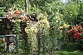 Baumlilien (Lilium) (20451578586).jpg