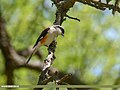 Bay-backed Shrike (Lanius vittatus) (48332188991).jpg