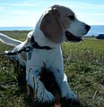 Beaglehuendin.jpg