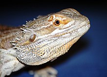 Bearded Dragon - close-up.jpg