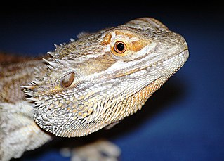 Leopard Gecko or Bearded Dragon? The Better Pet | That Reptile Blog