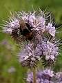 Bee on Phacelia - geograph.org.uk - 1333954.jpg