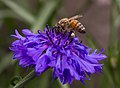 Bee on cornflower in Aspen (91229).jpg