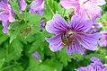 Bee on geranium (17334921182).jpg