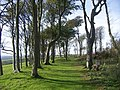 Beech trees - geograph.org.uk - 589332.jpg