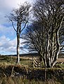 Beech trees near Powder Mills - geograph.org.uk - 1590735.jpg