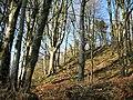 Beech trees on White Sheet Hill - geograph.org.uk - 1173328.jpg