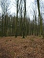 Beeches, Phillis Wood - geograph.org.uk - 341723.jpg