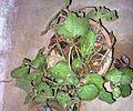 Begonia plant 15.JPG