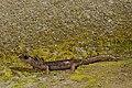 BennyTrapp Sàrrabus-Höhlensalamander Speleomantes sarrabusensis Sardinien Italien.jpg