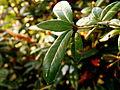 Berberis gagnepainii (4).JPG