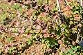 Berberis thunbergii in La Jaysinia (3).jpg