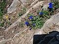 Bergblumen - panoramio.jpg