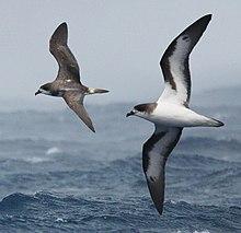 Bermuda Petrel From The Crossley ID Guia Oriental Aves, crop.jpg