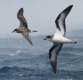 Bermuda Petrel From The Crossley ID Guide Eastern Birds, crop.jpg
