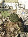 Berne botanic garden Opuntia engelmannii.jpg