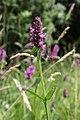 Betonica officinalis (Stachys officinalis) TK 2021-07-03 1.jpg
