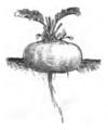 Betterave rouge de Bassano Vilmorin-Andrieux 1883.png