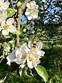 Biene beim Pollensammeln im Quittenbaum.jpg