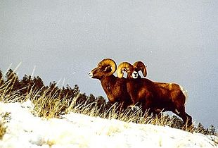 Bighorn Sheep in Shoshone National Forest.jpg