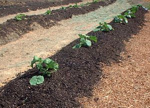 Biosolids - Pumpkin seedlings planted out on windrows of composted biosolids