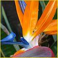 Bird of Paradise 2-16-14b (12593489113).jpg