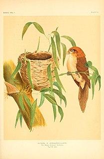 Pale-billed parrotbill species of bird