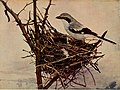 Birds and nature (1905) (14568940249).jpg