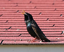 Singing adult male