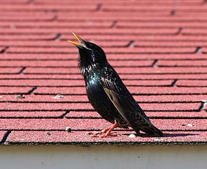 Common starling - Adult male singing and displaying its long throat feathers