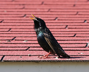 A European starling (Sturnus vulgaris) singing