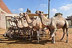 Birqash Camel Market, photo by Hatem Moushir 41.jpg
