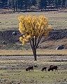 Bison in Lamar Valley (58431ed9-78ec-46d0-8fd0-58c6f1993c87).jpg